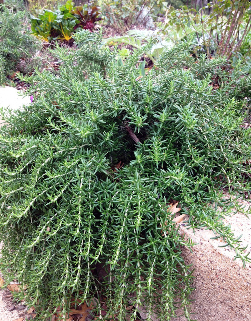 Halleck rosemary trailing