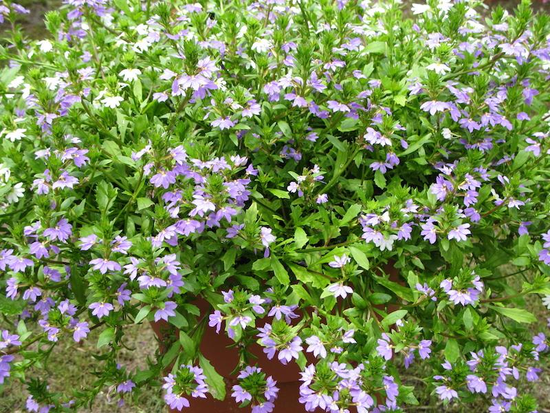 Halleck fanflower scaevola aemula lavender