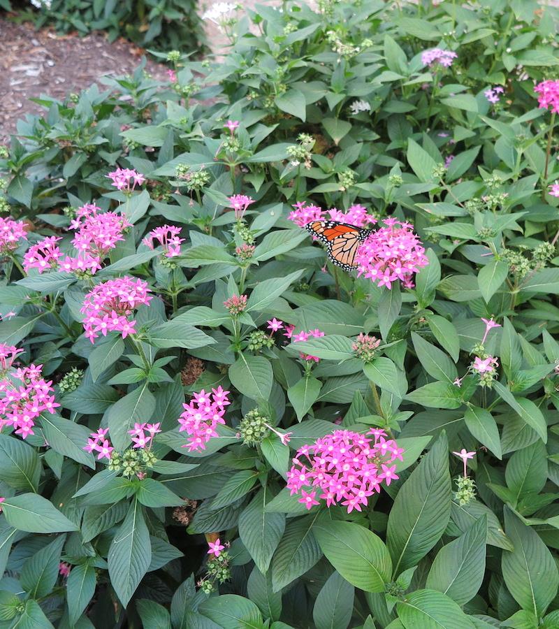 Halleck pentas lanceolata pink monarch