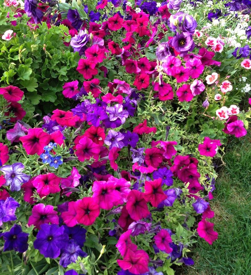 Halleck petunia x hybrida mixed colors bed