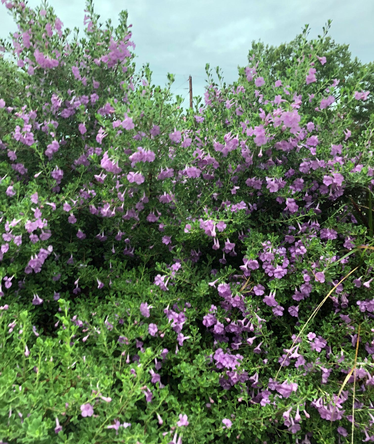 Texas sage leucophyllum langmaniae lynns legacy flowers