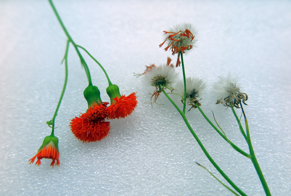 Tassel flower seeds sm
