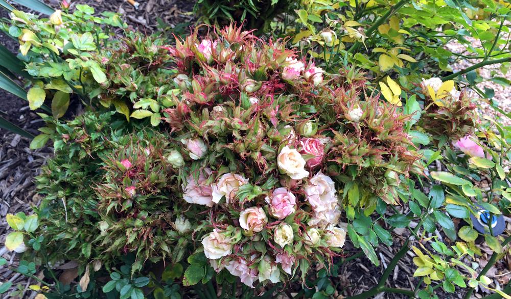 Halleck roserosette sm