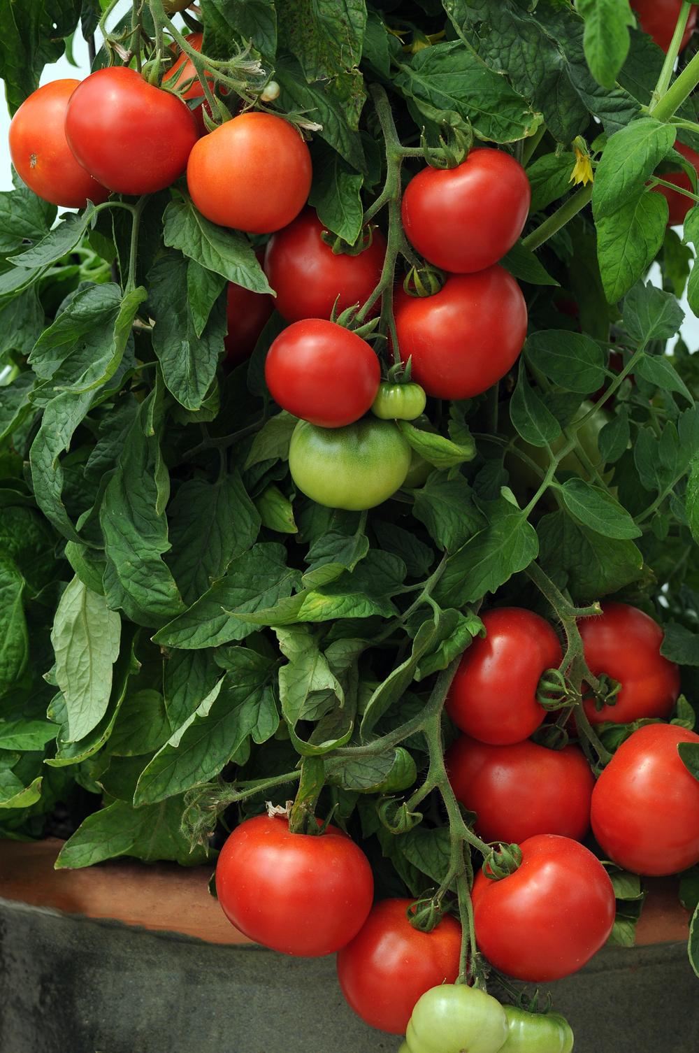'Homeslice' Tomato