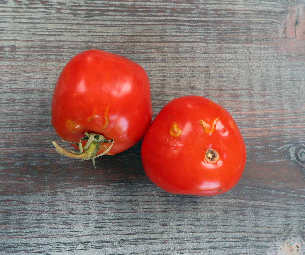 The germination inhibitors inside this decaying tomato have broken down and the seeds inside have begun to germinate.   By the way, don't eat those tiny tomato sprouts if you find them in your tomato fruit—tomatoes are in the nightshade family and the stems and leaves contain toxins.